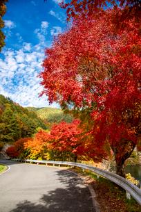もみじ湖湖畔 カエデ紅葉の並木道の写真素材 [FYI02650953]