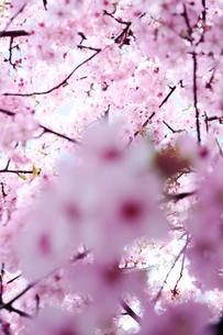 住宅地の早咲きの桜の写真素材 [FYI02650962]