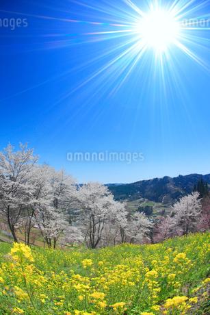ソメイヨシノなどの桜と菜の花と太陽の光芒,魚眼レンズの写真素材 [FYI02650979]