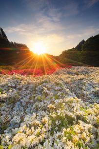 ツツジと朝日の光芒の写真素材 [FYI02651276]