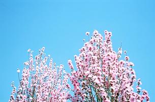 ほうき桃の花の写真素材 [FYI02651279]