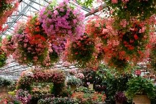 松江 フォーゲルパーク園内のセンターハウスの花の写真素材 [FYI02651345]