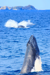 ザトウクジラのスパイホップとモカラク島の写真素材 [FYI02651452]