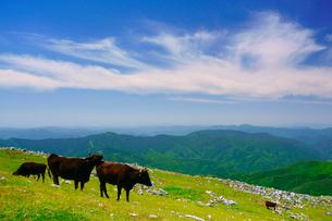 黒毛和牛と五段高原の石灰岩群と鈴が森方向の山並みの写真素材 [FYI02651454]
