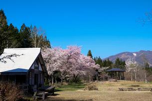 ひるがの湿原植物園の桜の写真素材 [FYI02651761]