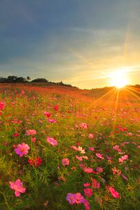 コスモス畑と夕日の光芒の写真素材 [FYI02651793]