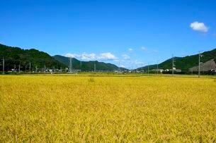 丹波コシヒカリの稲穂の写真素材 [FYI02651852]