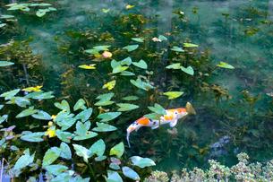 モネの池の写真素材 [FYI02652013]
