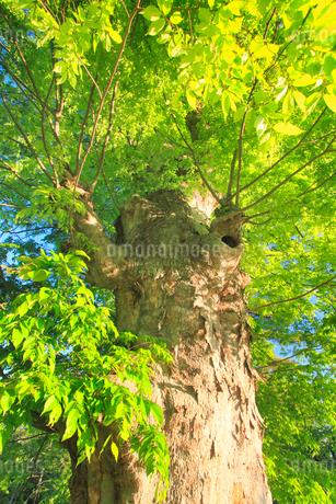 新緑のケヤキの巨木の写真素材 [FYI02652131]