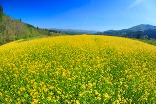 菜の花畑と鍋倉山遠望,魚眼レンズの写真素材 [FYI02652132]