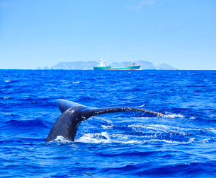 ザトウクジラのプルークアップダイブとタンカーと渡名喜島の写真素材 [FYI02652214]