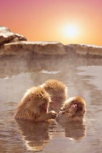 温泉猿と日の出の写真素材 [FYI02652638]
