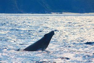 ザトウクジラのスパイホップと朝の輝く海の写真素材 [FYI02652844]