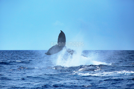 ザトウクジラのテールスラップの写真素材 [FYI02653193]