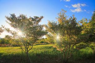ドウダンツツジと朝のふたつの木もれ日の写真素材 [FYI02653210]