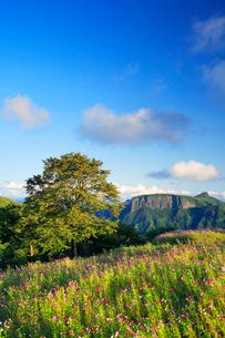 コスモス畑と木立と荒船山の写真素材 [FYI02653275]