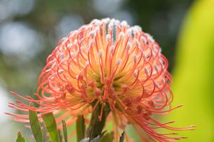 ハワイ島に咲くピンクッションの花の写真素材 [FYI02653314]