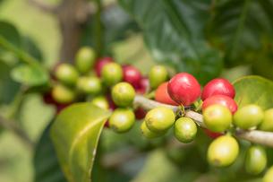 ハワイ島のカウコーヒーの実の写真素材 [FYI02653346]
