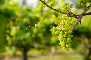 ハワイ島のボルケーノワイナリーのブドウの写真素材 [FYI02653666]