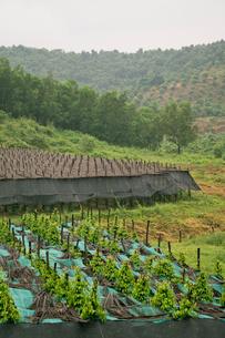 胡椒畑の写真素材 [FYI02653688]