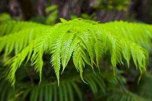 ハワイ島 キラウエア火山のシダの葉の写真素材 [FYI02653740]