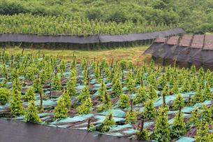 胡椒畑の写真素材 [FYI02653774]