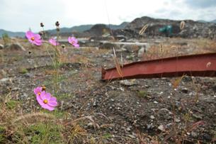 瓦礫に咲くコスモスの写真素材 [FYI02653939]