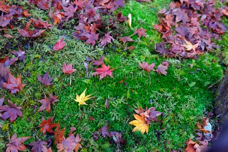 紅葉の落ち葉の写真素材 [FYI02653966]