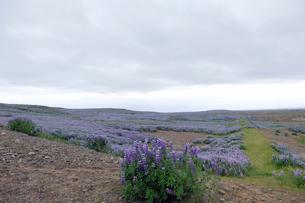 ルーピンの咲く草原の写真素材 [FYI02654087]