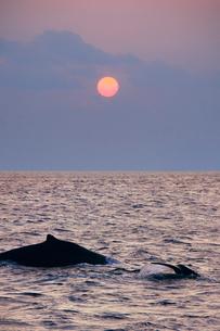 ザトウクジラの親子と夕日の写真素材 [FYI02654521]