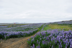 ルーピンの咲く草原の写真素材 [FYI02654536]