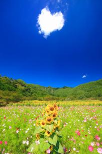 ヒマワリとコスモスの花畑と独鈷山とハートの雲の写真素材 [FYI02654647]