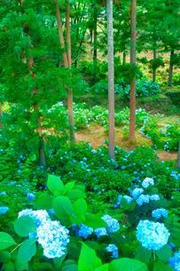 紫陽花とカラマツ林の写真素材 [FYI02654708]
