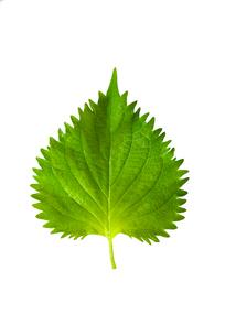 紫蘇の葉の写真素材 [FYI02654801]
