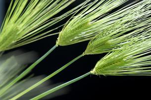麦の写真素材 [FYI02654828]