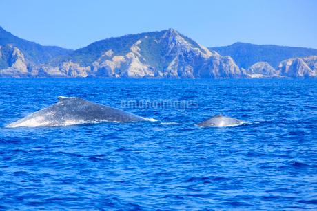 輝くザトウクジラの親子と阿嘉島の写真素材 [FYI02654834]