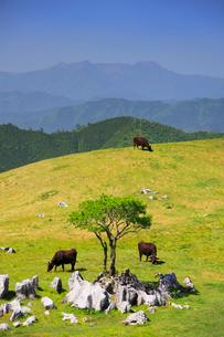 四国カルストの石灰岩群と黒毛和牛と木立と石鎚山遠望の写真素材 [FYI02654885]