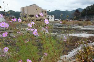 瓦礫に咲くコスモスの写真素材 [FYI02654928]