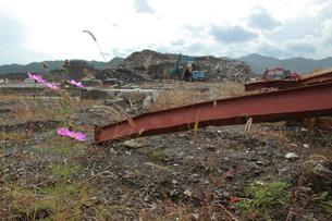 瓦礫に咲くコスモスの写真素材 [FYI02654957]