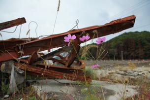 瓦礫に咲くコスモスの写真素材 [FYI02655366]