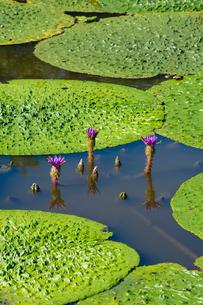 福島潟のオニバスの写真素材 [FYI02655549]