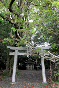 田中神社のオカフジの写真素材 [FYI02655599]