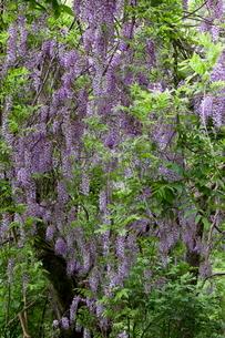 野生の藤の花と須砂渡渓谷の写真素材 [FYI02655604]