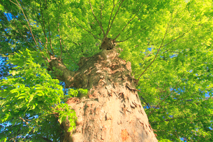 新緑のケヤキの巨木の写真素材 [FYI02655626]