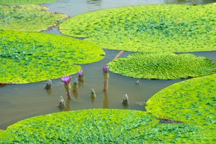 福島潟のオニバスの写真素材 [FYI02655636]