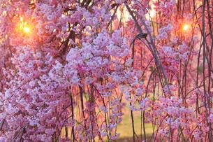 ヤエベニシダレとふたつの朝日の木もれ日の写真素材 [FYI02655675]