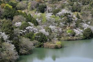 動鳴気渓の桜の写真素材 [FYI02656048]