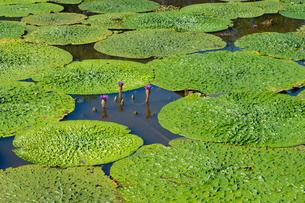 福島潟のオニバスの写真素材 [FYI02656078]