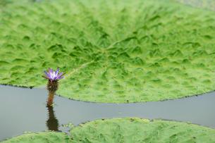 福島潟のオニバスの写真素材 [FYI02656092]