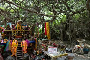 ベンガル菩提樹の森 の写真素材 [FYI02656115]